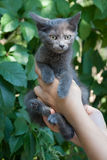 Photo of kitten to find him owners. Gray small kitten in woman hands at green background Royalty Free Stock Image
