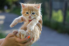 Photo of kitten to find him owners. Red small kitten in woman hands at blurred background Royalty Free Stock Image