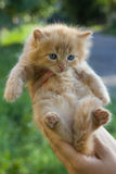 Photo of kitten to find him owners. Red small kitten in woman hands at blurred background Royalty Free Stock Photos