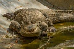 A large basking crocodile. A photo of a large crocodile basking in the sun shine Stock Photography