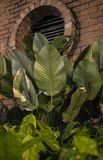A photo of large green leaves with a brick wall background. Taken at night royalty free stock photo