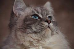 Photo latérale de plan rapproché d'un beau chat avec des yeux bleus Image stock