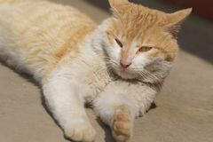 A lazy cat. Photo of lazy ginger cat Stock Images