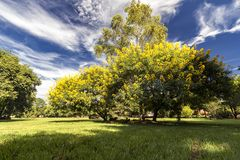 Leafy trees with yellow flowers in the field with blue sky with clouds. Photo of Leafy trees with yellow flowers in the field with blue sky with clouds Stock Photography
