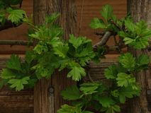 Hawthorn Crataegus. In the photo are leaves of hawthorn Crataegus along a wooden fence. Photo was made in spring Stock Photos