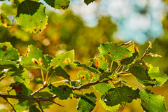 Photo of leaves in sunshine. With light royalty free stock photos