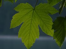 Sycamore. In the photo are leaves of tree sycamore. Photo was made near Walchensee or lake Walchen upper Bavaria, Germany Royalty Free Stock Images