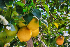 Photo of a lemon tree with lemons Stock Images