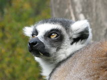 Photo of Lemur from Prague Zoo Stock Photo