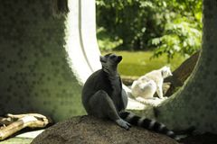 Photo of lemur sitting on stone. Photography from German zoo in warm colors royalty free stock images