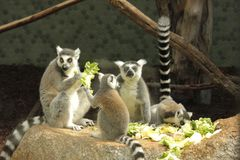 Photo of lemurs eating greens stock photography