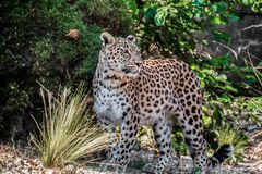 Photo Of Leopard Royalty Free Stock Photography