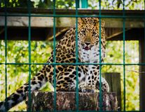 Photo of Leopard Inside the Cage Royalty Free Stock Photo