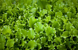 Photo of lettuce garden bed Royalty Free Stock Photography