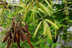 The photo of Leucaena leucocepphala stock photo