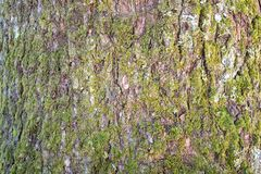 Photo light brown bark of a tree with moss Stock Photo