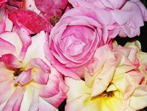 Photo of light pink roses Royalty Free Stock Photos