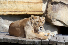 Photo of the lion Royalty Free Stock Images
