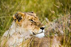 Photo Of Lioness Royalty Free Stock Image