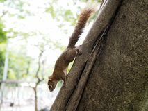 A Little Brown Squirrel Climbing on the Tree. Photo of a Little Brown Squirrel Climbing on the Tree in the City Park royalty free stock image