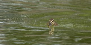 A cute little Mallard duckling. Photo of a little cute Mallard duckling swimming with reflections in the water Stock Images