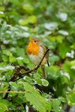 A little Robin redbreast. Photo of a little Robin redbreast sitting on a branch Stock Images