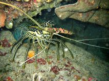 The photo of lobster. it comes out form the cave. The two big mustache are appeared. Photo taken in the Philippines. stock photos