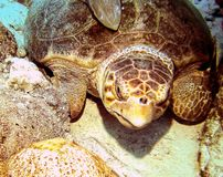 Loggerhead Turtle. This photo of Loggerhead Turtle was taken while Scuba Diving in Bahamas royalty free stock image