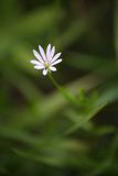 Photo of a lone white flower. On a background of green grass Royalty Free Stock Photos