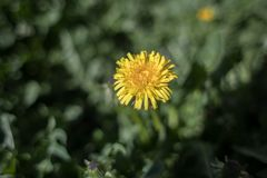 Photo of a lonely and listless chamomile yellow.  Royalty Free Stock Photos