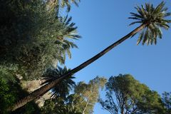 Unusually tall palm tree. Growing in the park stock photo