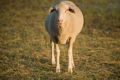 A photo of a lonely sheep Stock Photography