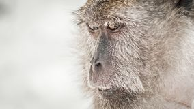 Photo of long tailed macaque monkey at the Monkey beach royalty free stock photo