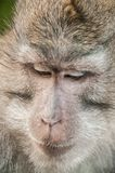 Photo of long tailed macaque monkey at sacred monkey forest royalty free stock photo