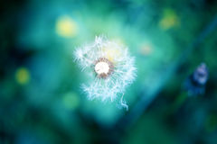 Photo lovely dandelion Royalty Free Stock Images