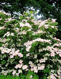 Photo with the lovely profusely blooming ornamental tree Dogwood Coase Stock Image