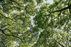 Photo low angle view of branches green leaves. Trees Stock Image