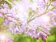 Photo lumineuse avec vue sur une branche lilas lumineuse de lilas avec l'éclat du soleil là-dessus images stock