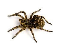 Photo of Lycosa singoriensis, black hair tarantula isolated on white background Stock Images
