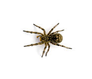 Photo of Lycosa singoriensis, black hair tarantula isolated on white background Royalty Free Stock Photos