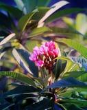 Photo macro beautiful frangipani Stock Images
