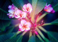 Photo macro beautiful frangipani Stock Image