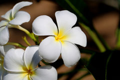 Photo macro beautiful frangipani Royalty Free Stock Images