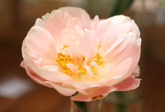 Photo macro beautiful pink peony Royalty Free Stock Photos