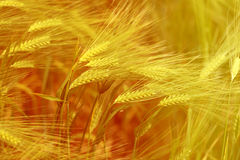 Photo of a macro field of rye. Photo of a macro of a wonderful field of rye on a sunny day Stock Image