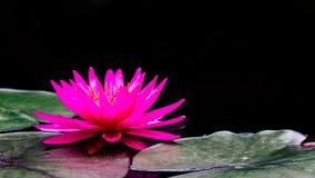 Free Photo Macro Shot On Bee Swarming On Lotus Flower , Beautiful Purple Lotus Flower With Green Leaf In Pond Royalty Free Stock Image - 121584576