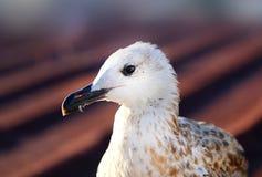 Photo macro white seagulls Royalty Free Stock Photography
