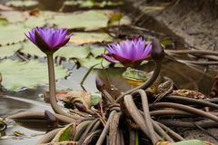 American Bullfrog in Ecuador. A photo of a male American Bullfrog (Rana catesbeiana) in Ecuador as it rests among Lotus flowers. The photo was taken in the stock photo