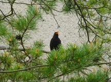 Male blackbird sitting and singing on the branch of a pine tree. Photo of a male blackbird sitting and singing on the branch of a pine tree Royalty Free Stock Photography