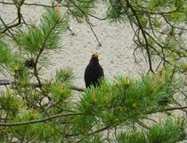 Male common blackbird sitting and singing on the branch of a pine tree. Photo of a male common blackbird sitting and singing on the branch of a pine tree Stock Photography
